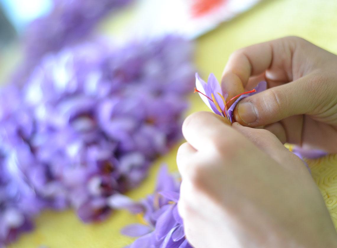 Pulitura fiori di zafferano