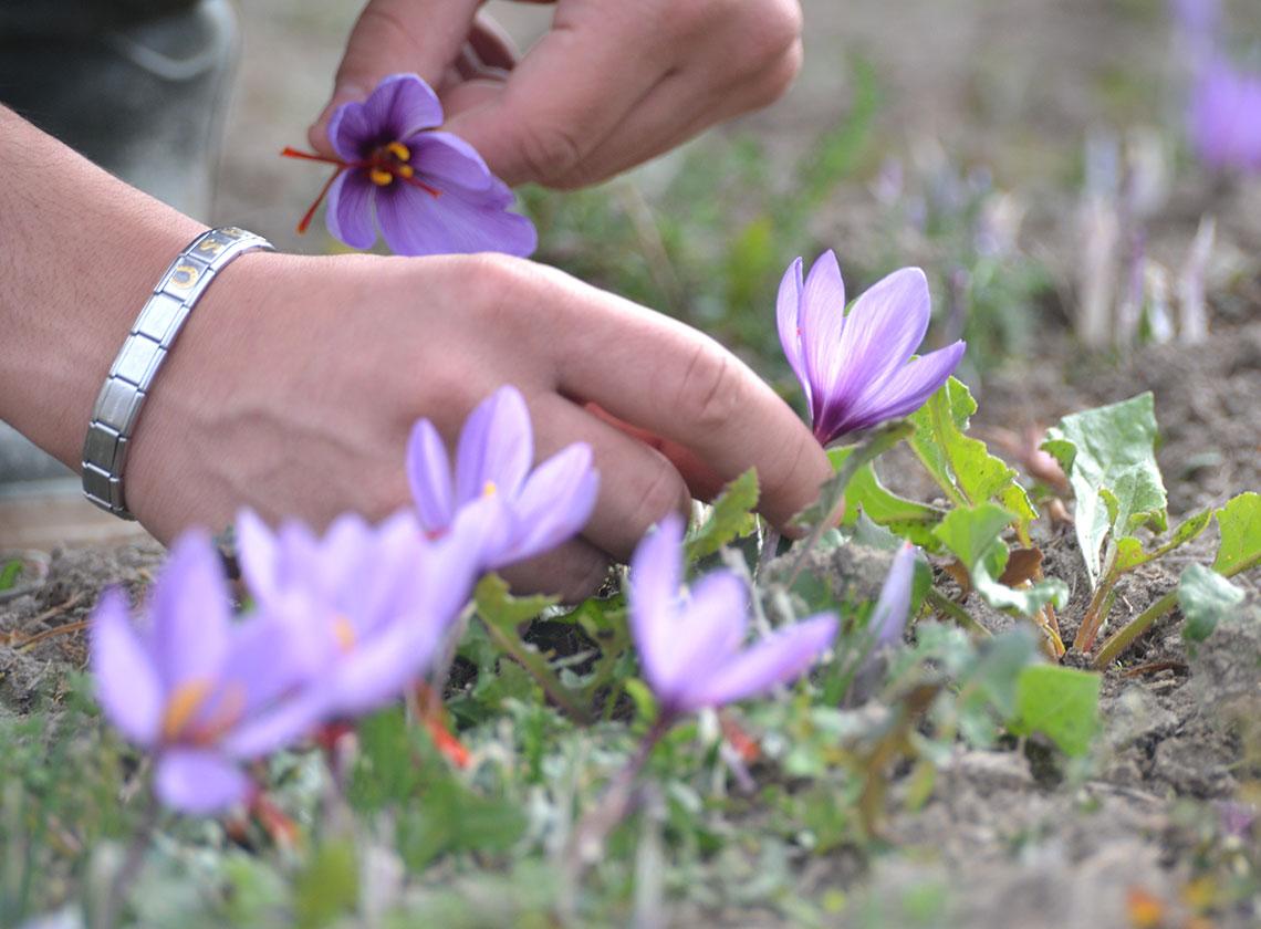 Raccolta fiori di zafferano